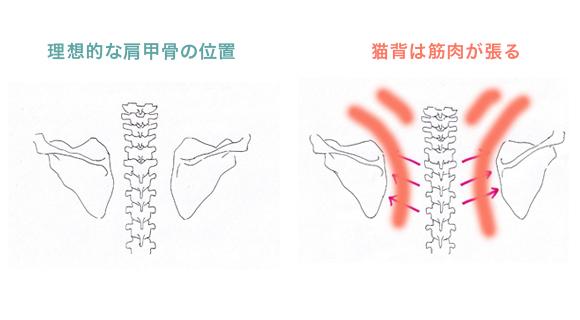 猫背と理想的な姿勢の肩甲骨の位置